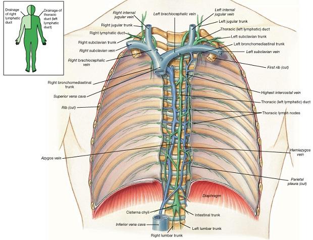 osteopatia sistema linfatico 1