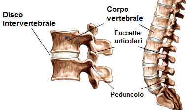 vertebra colonna vertebrale