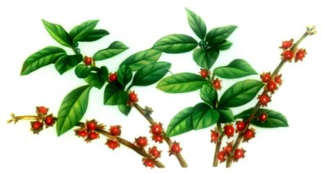 Withania Ginseng indiano