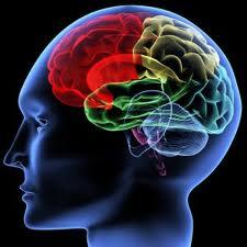 lobo frontale cervello