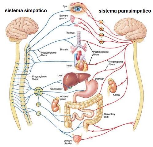 osteopatia sistema simpatico